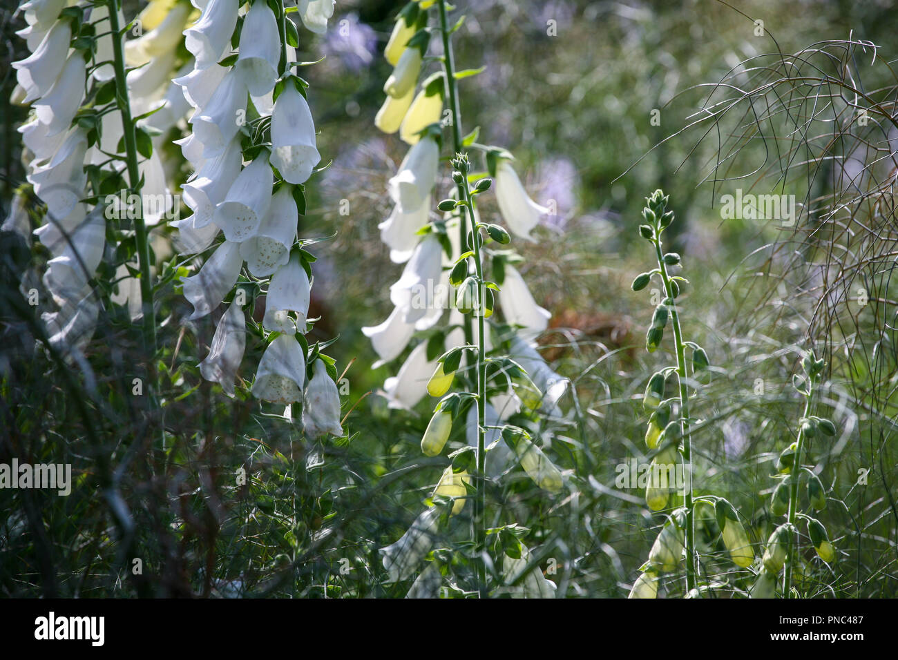 Digitalis purpurea 'Alba' - White foxgloves in an herbaceous planting scheme, summer - Stock Image
