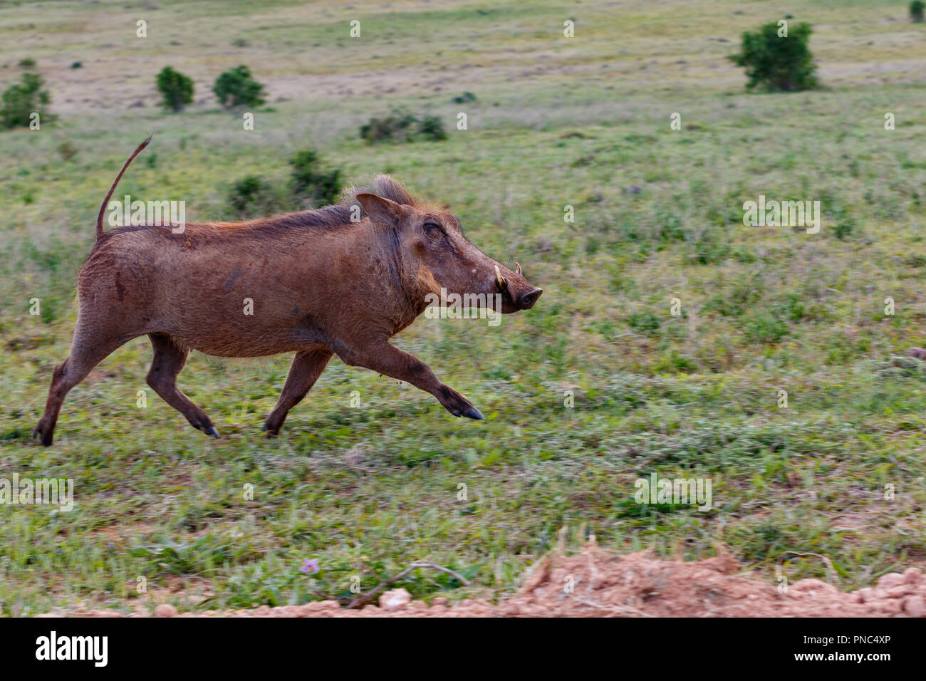 Warthog Meaning Stock Photos & Warthog Meaning Stock Images - Alamy
