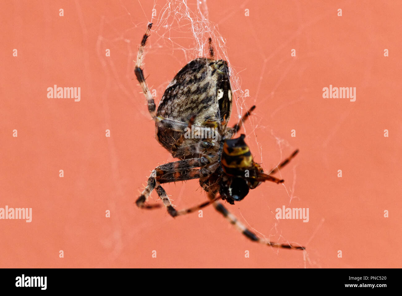 spider eats a wasp Stock Photo