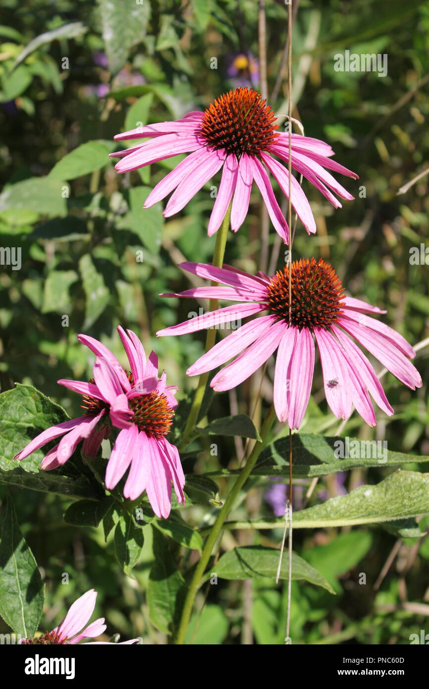 Beautiful and huge Eastern Purple Coneflower (Echinacea purpurea)  in a wildflower field in Park Ridge, Illinois on a late summer and early fall day. - Stock Image