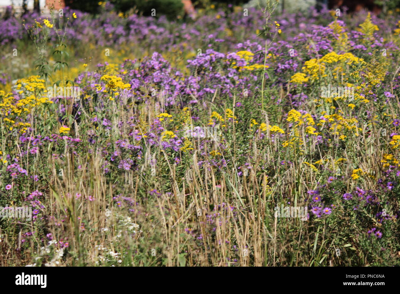 Beautiful field of blossoming wildflowers in the late summer and early fall in Park Ridge, Illinois. - Stock Image