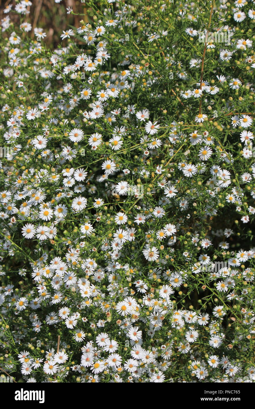 Beautiful field of blossoming white daisy wildflowers in the late summer and early fall in Park Ridge, Illinois. Stock Photo