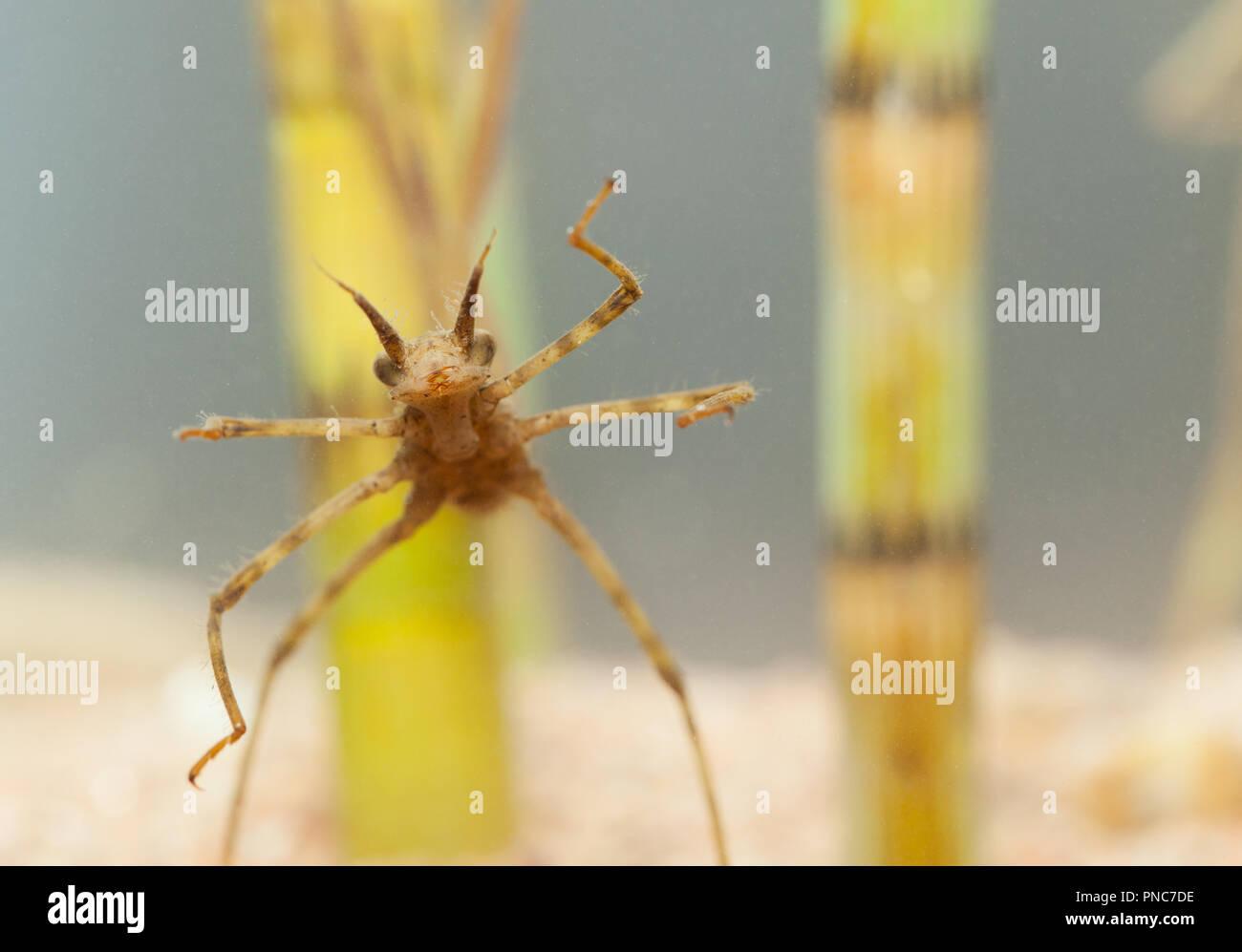 Banded demoiselle larva Stock Photo