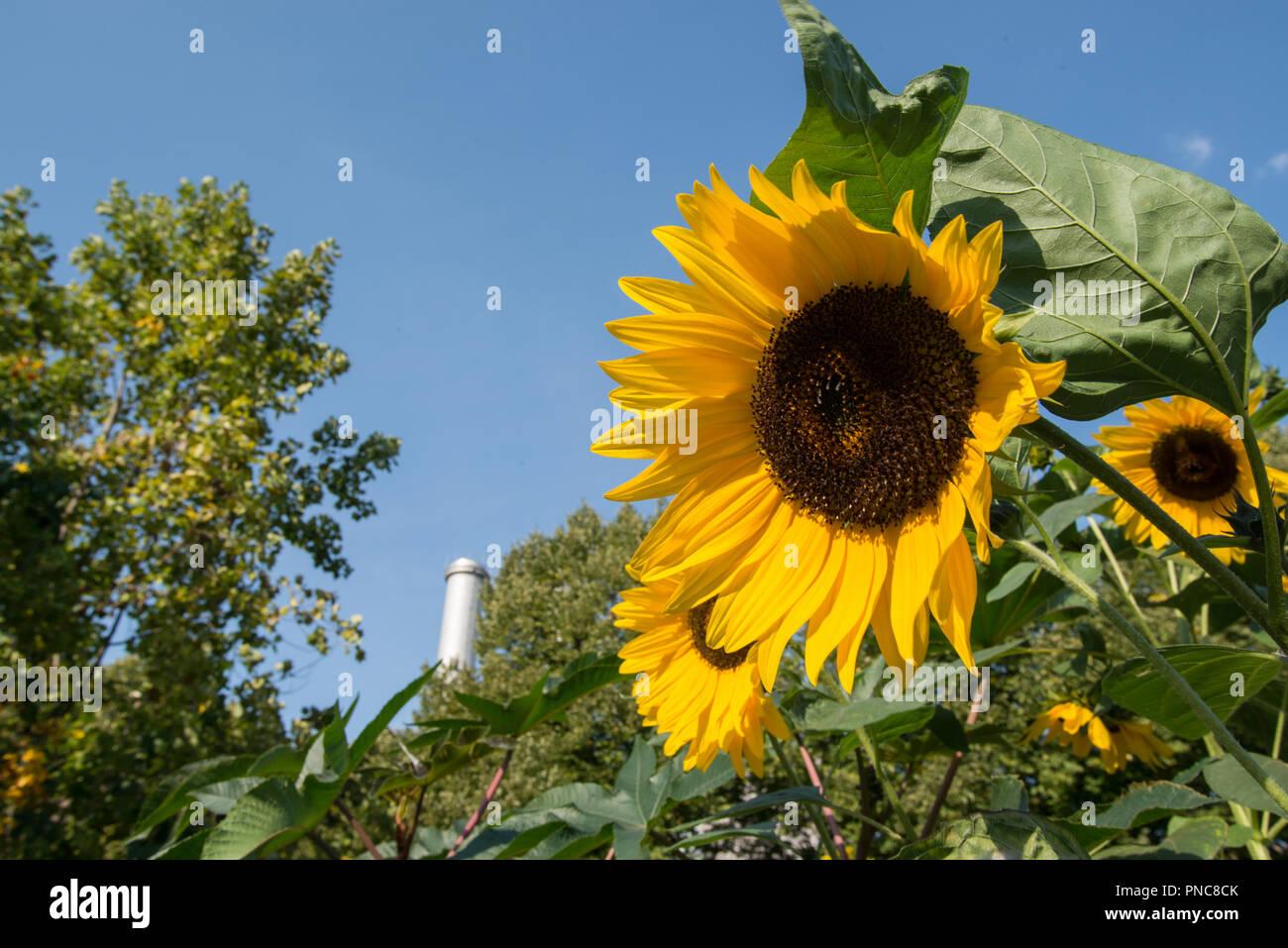 Sonnenblume vor Kraftwerk und Schornstein - Stock Image