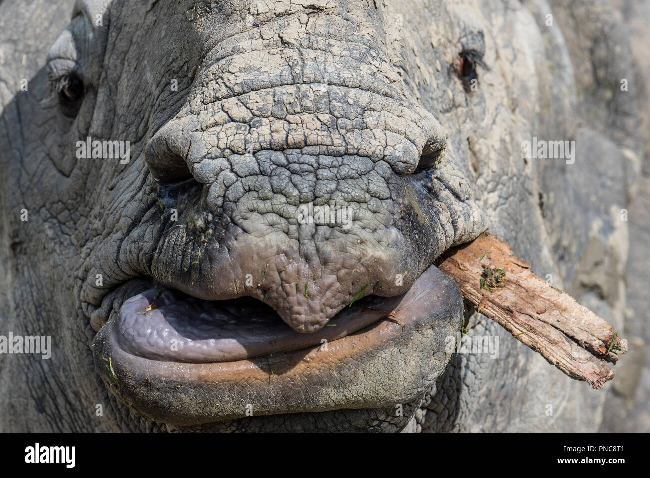 Indian rhinoceros (Rhinoceros unicornis) chewing piece of wood, close up of upper lip, tongue and snout - Stock Image