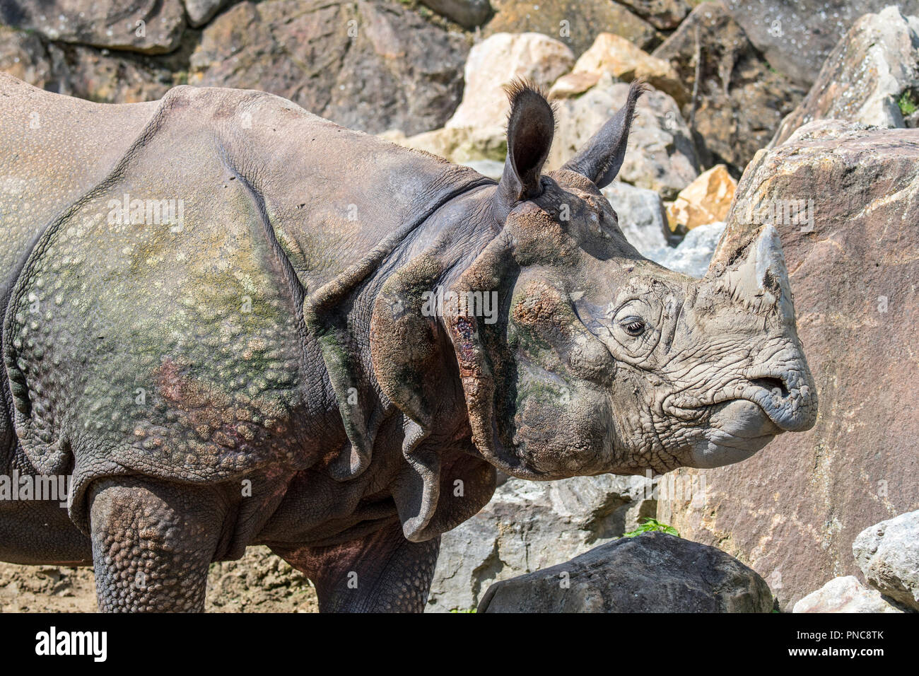 Indian rhinoceros (Rhinoceros unicornis) close-up of head with horn and typical wart-like bumps and skin folds - Stock Image