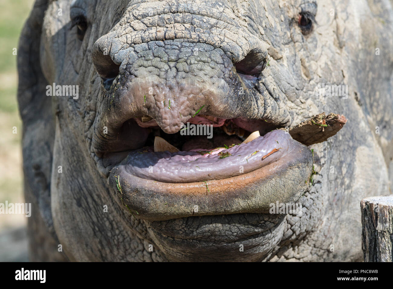 Indian rhinoceros (Rhinoceros unicornis) close up of snout showing sharp lower incisor teeth used for fighting - Stock Image