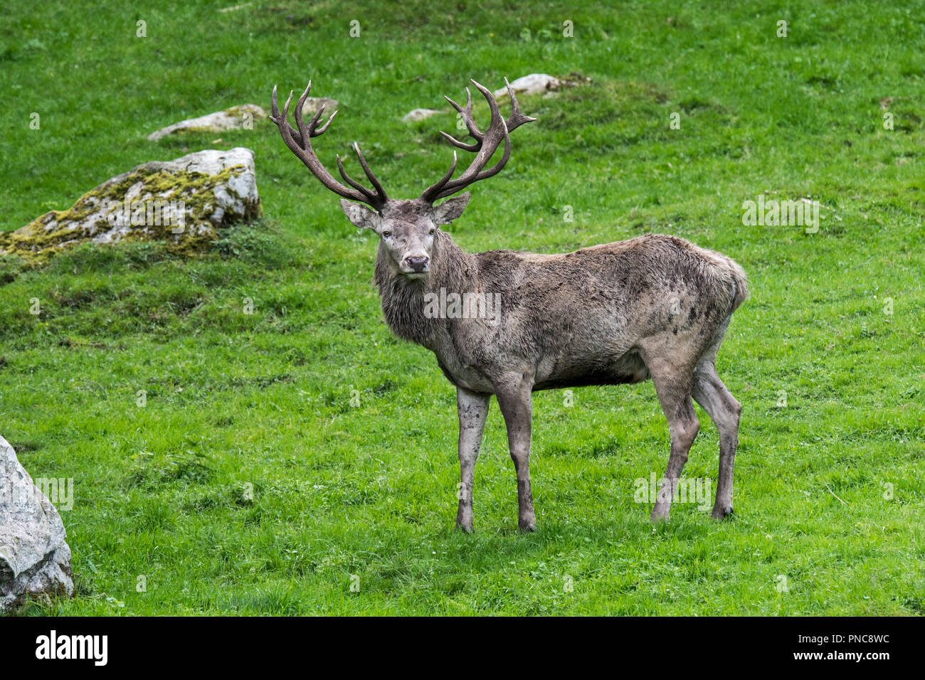 Red deer stag / male (Cervus elaphus) in Alpine meadow on mountain slope in the mountains of the Alps / Pyrenees Stock Photo