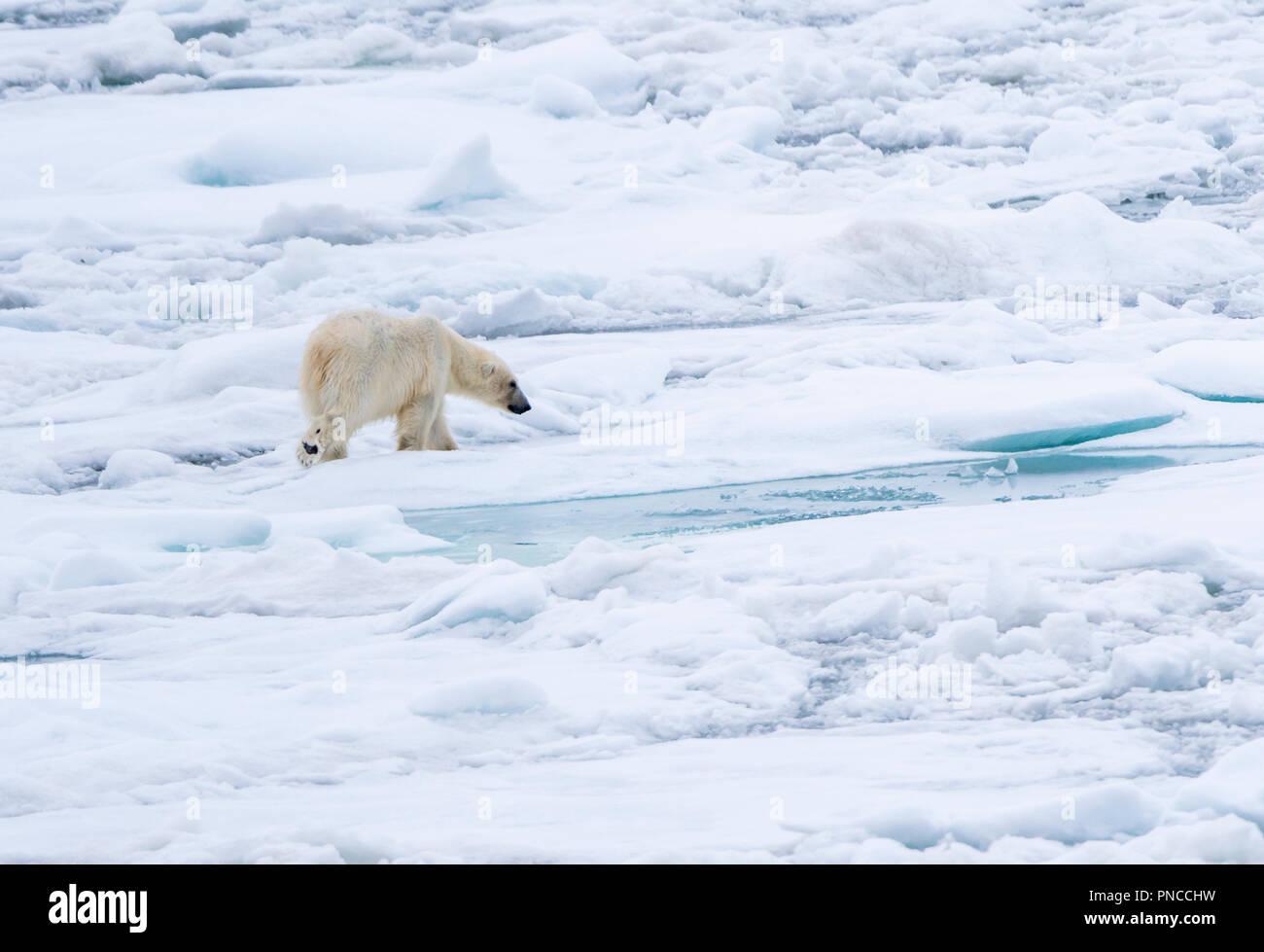 Polar bear traveling over sea ice off the coast of Svalbard