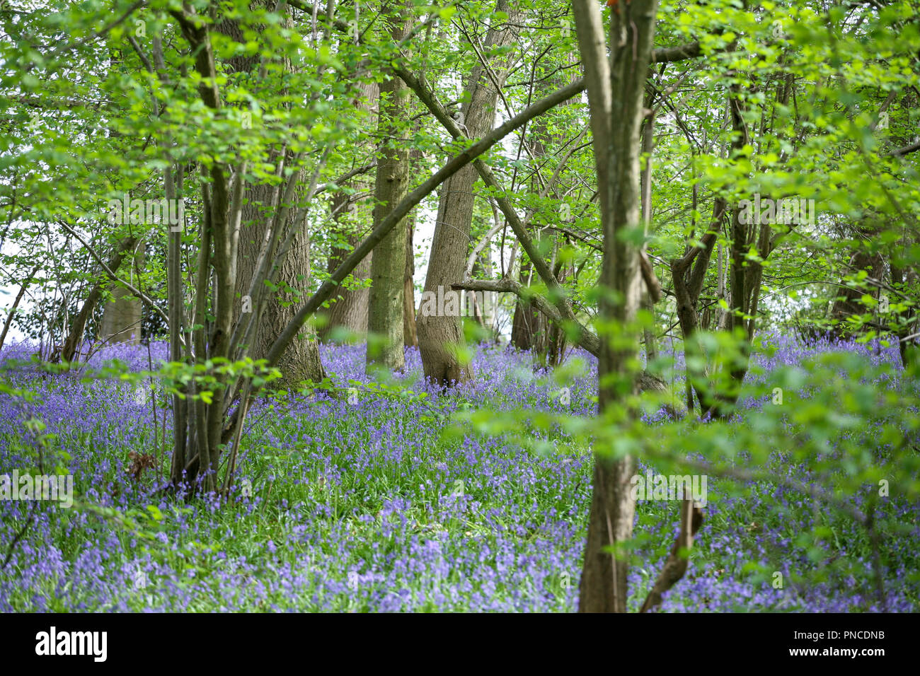 Ancient English bluebell (Hyacinthoides non-scripta) woodland - Stock Image