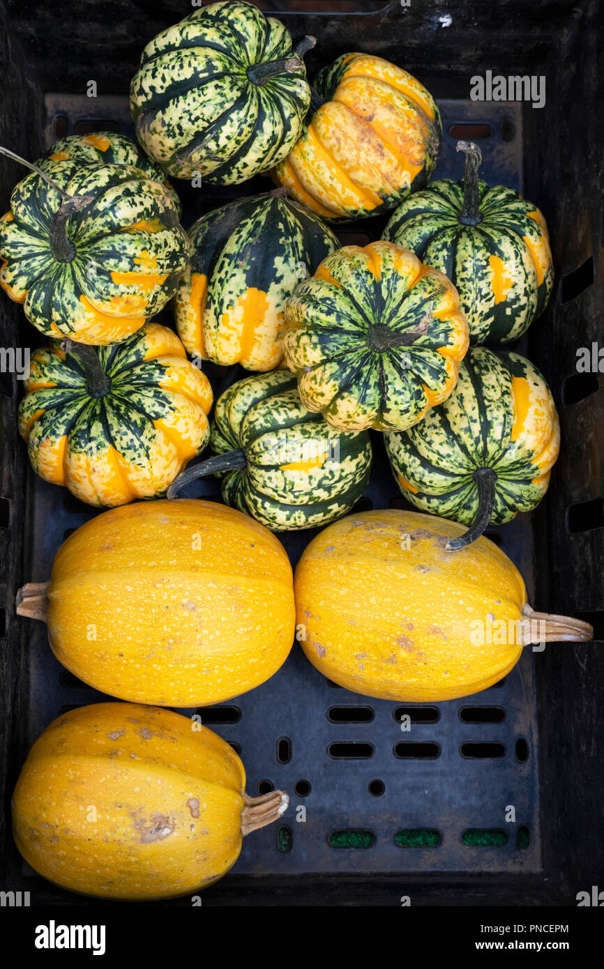 Pumpkins in a plastic tray from above at a flower show UK - Stock Image