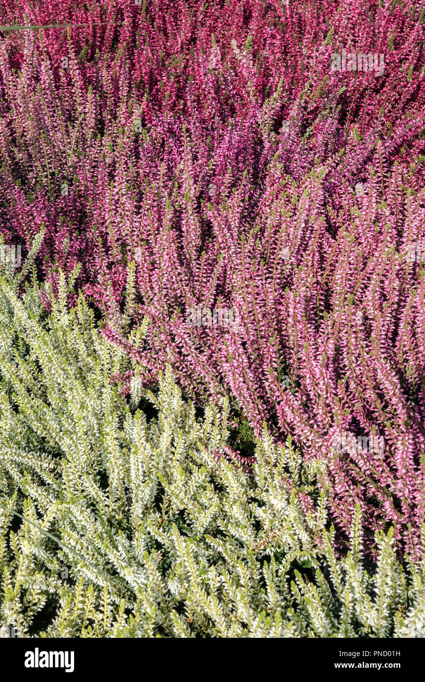 Common Heather Calluna vulgaris, colorful garden cultivars - Stock Image