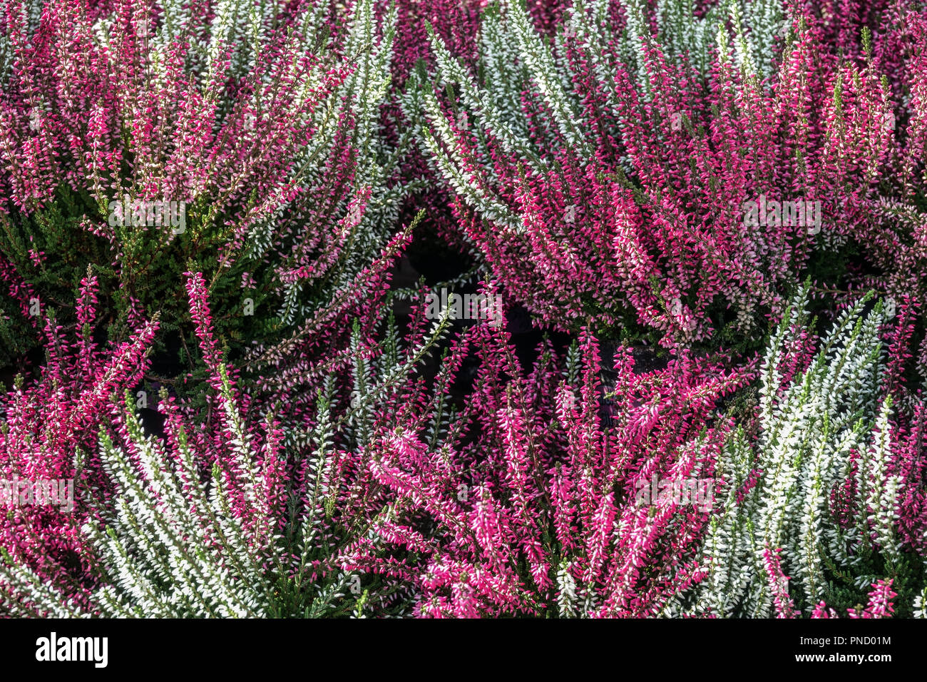 Common Heather Calluna vulgaris - Stock Image