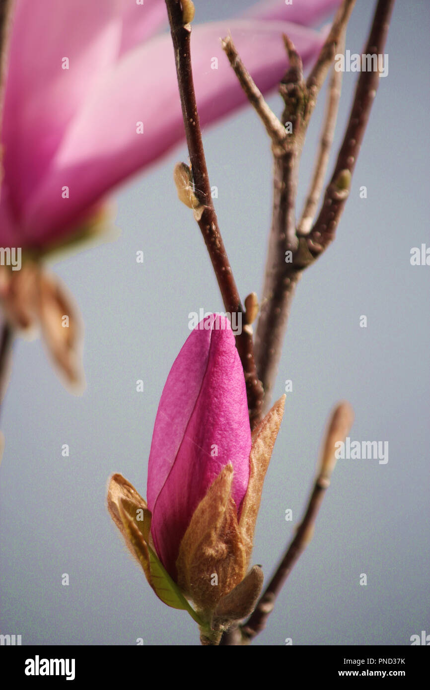 Close up of a pink bud of a Leonard Messel Magnolia tree in spring using a bokeh effect Stock Photo