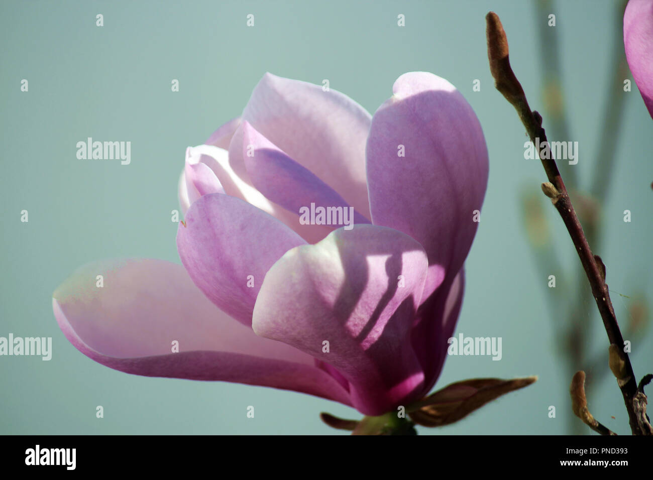 Close up of a two tone pink Leonard Messel Magnolia tree flower in full bloom in spring Stock Photo