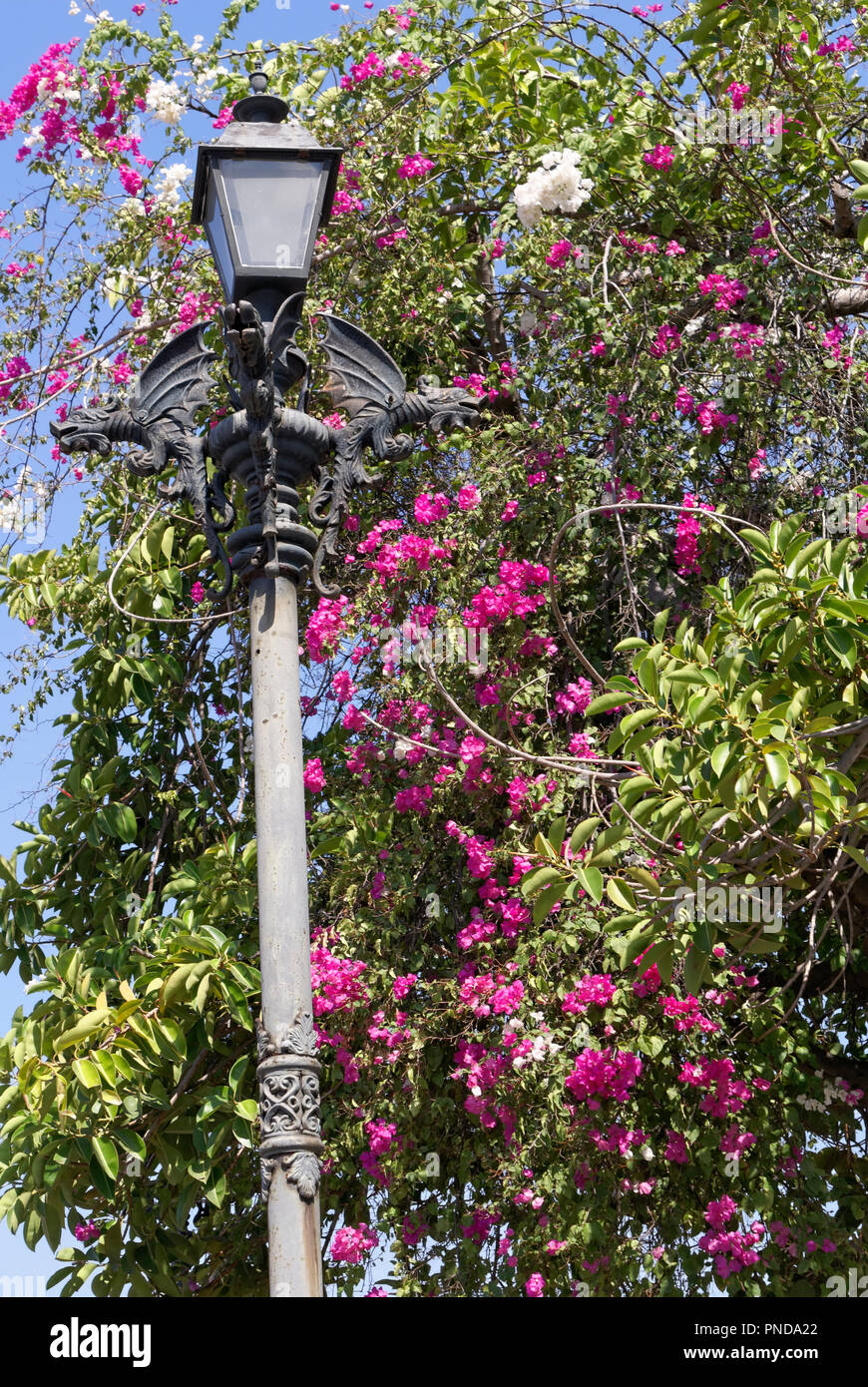 3eff75820 Chinese style dragons decorating a lamp post surrounded by bougainvillea  flowers, Old Mazatlan, Sinaloa