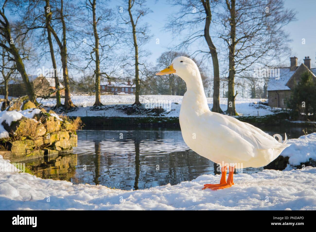 Aylesbury Duck at Tissington, Debyshire. - Stock Image