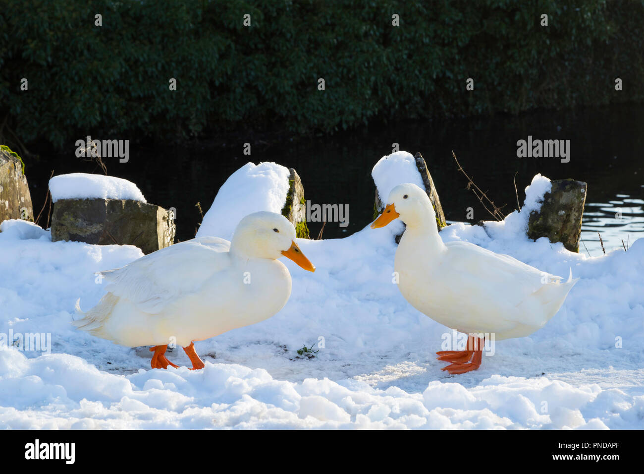 Aylesbury Ducks at Tissington, Debyshire. - Stock Image