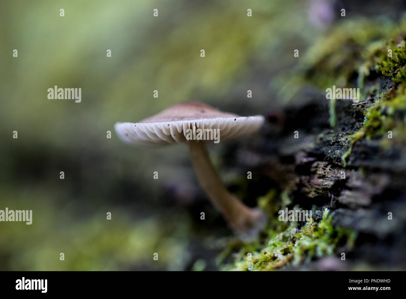 Single mushroom sprouting out of wood with green moss around it. Stem and cap of a small fruiting fungus. Microorganisms that help decomposition in na - Stock Image