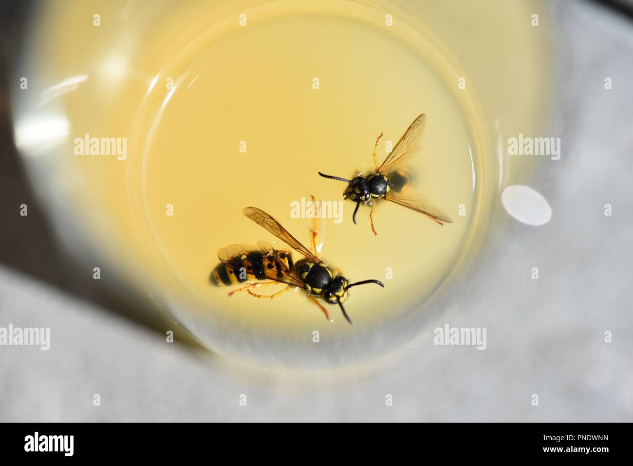 Wasps (Hymenoptera): two wasps lured to the sugar content of apple juice on a hot summer's day - Stock Image