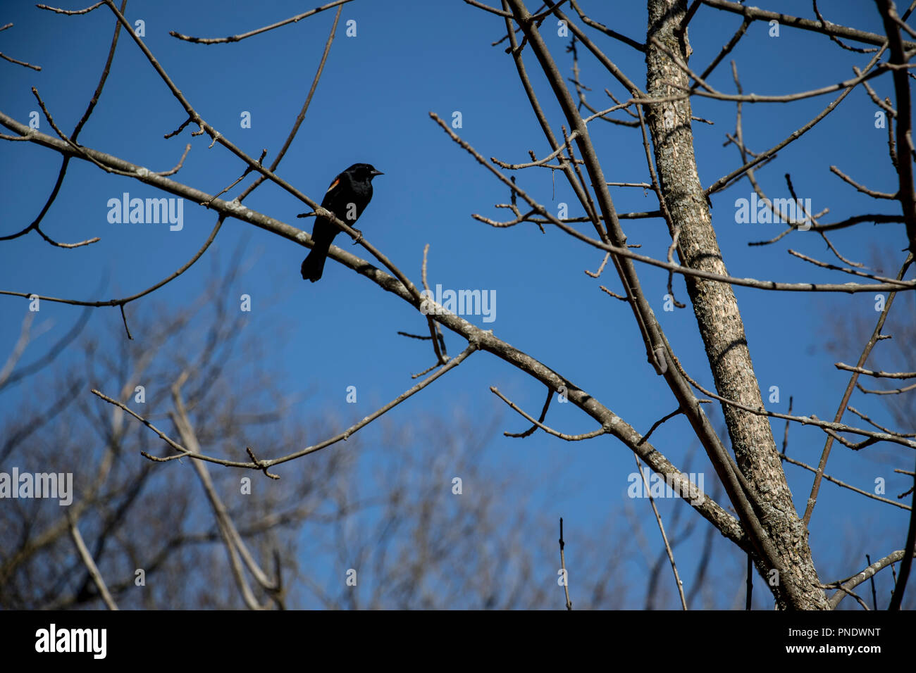 Black bird sitting perched in a tree branch outside in the woods. - Stock Image