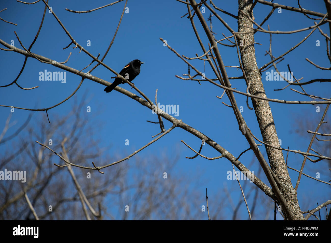 Red-Winged Blackbird perched on a bare tree branch in the forest with a clear blue sky in the background. - Stock Image