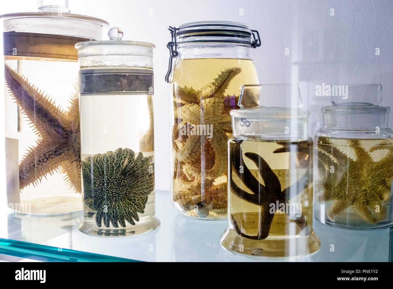 London England Great Britain United Kingdom Kensington Natural History Museum inside echinoderms specimen jars marine invertebrates starfish - Stock Image