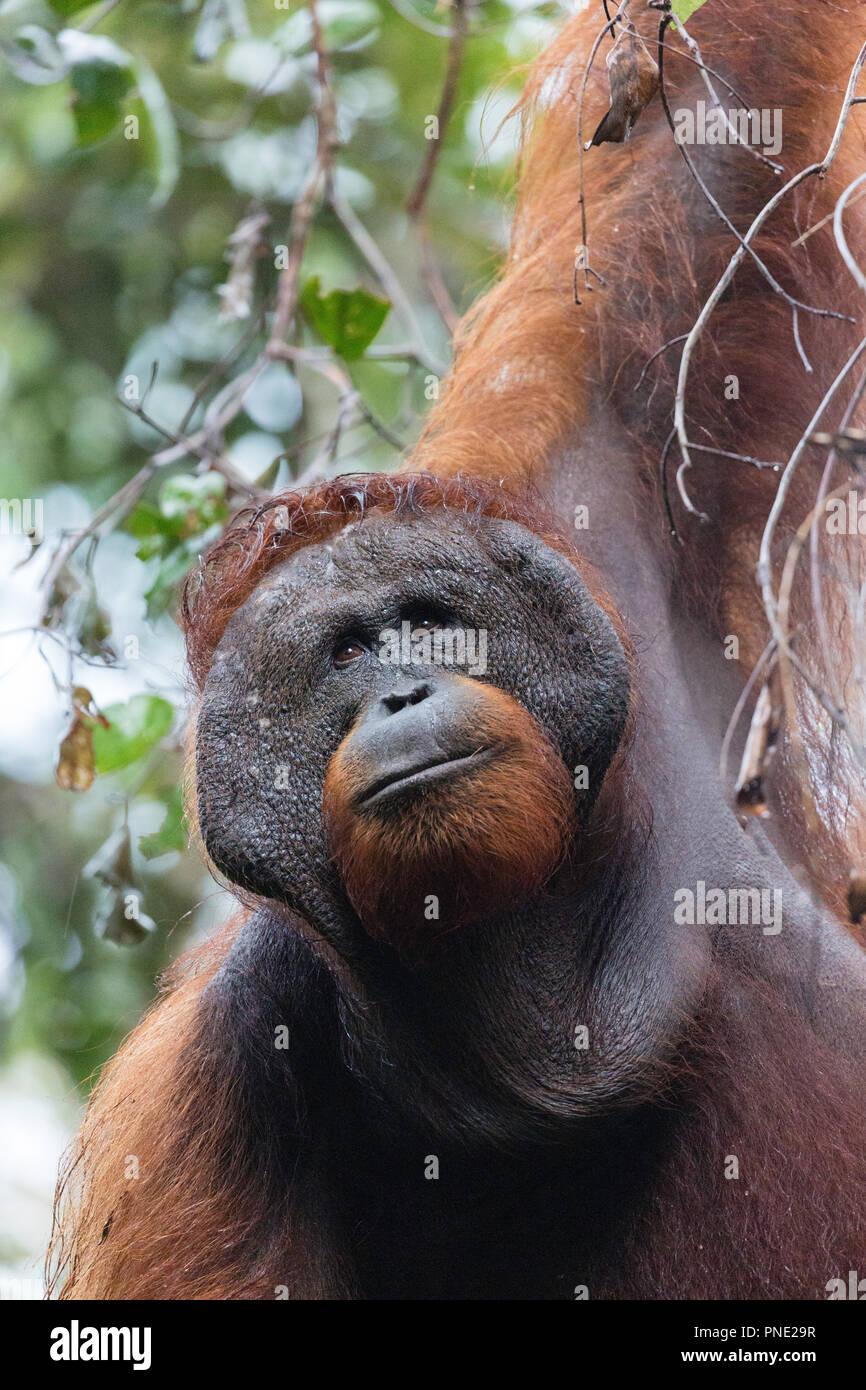 Adult male Bornean orangutan, Pongo pygmaeus, Tanjung Harapan, Borneo, Indonesia. Stock Photo