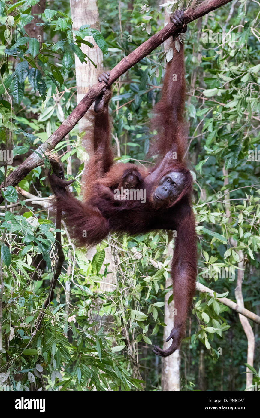 Mother and baby Bornean orangutan, Pongo pygmaeus, at Camp Leakey, Borneo, Indonesia. - Stock Image