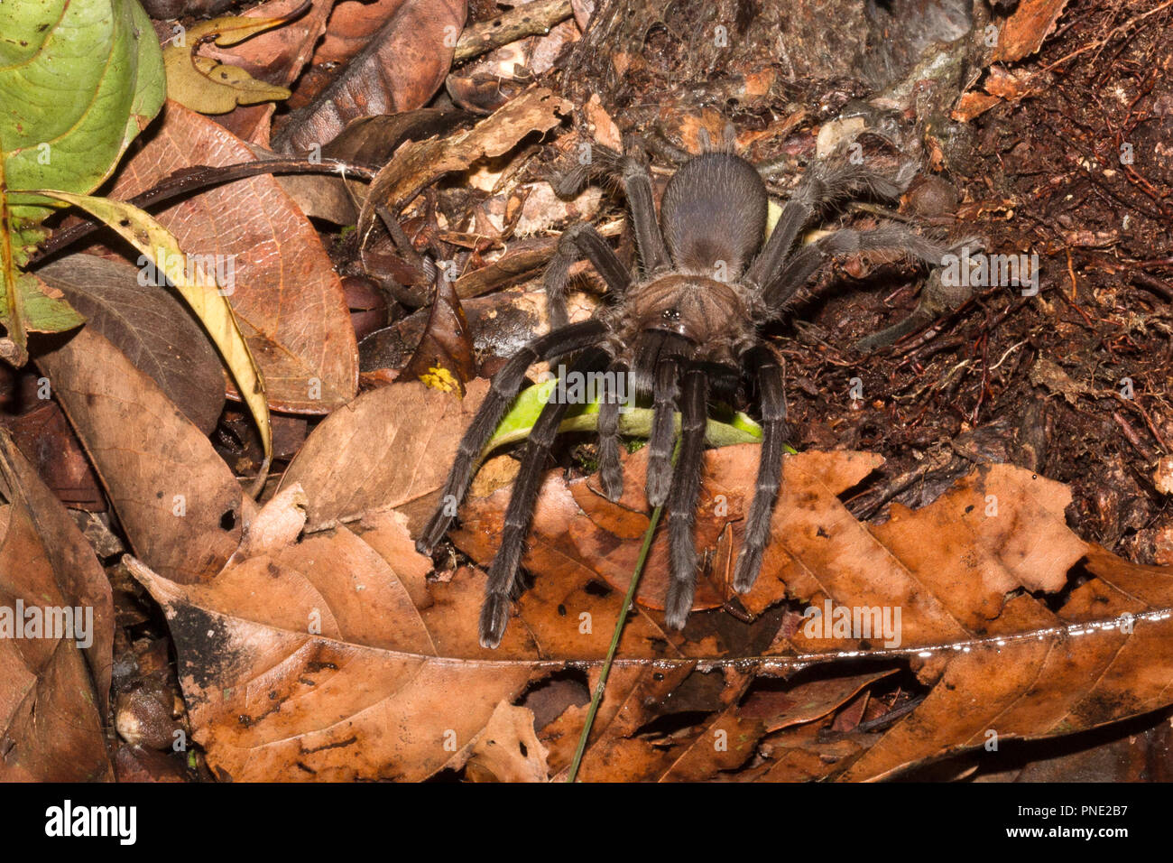Spider on the ground in Tanjung Puting National Park, Kalimantan, Borneo, Indonesia. - Stock Image