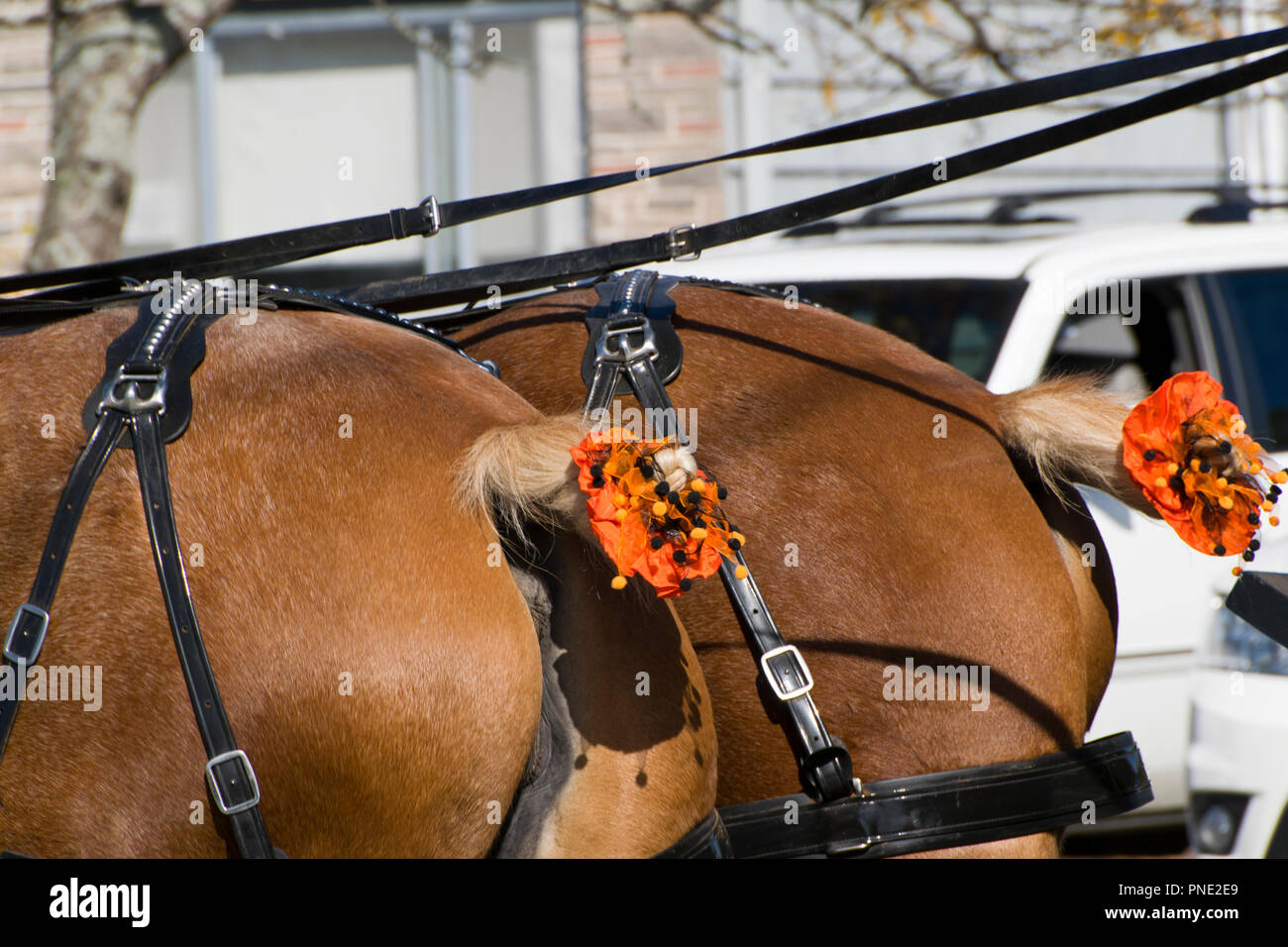 Horses Tail Decorated In Orange And Black Stock Photo Alamy