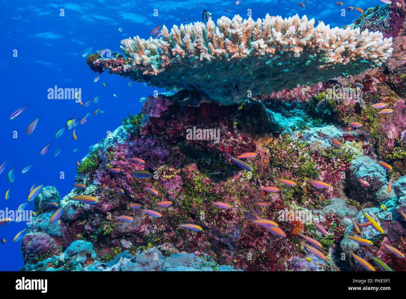 A school of Yellowback anthias (Pseudanthias evansi  (Smith, 1954)) swimming around edge of coral reef. Yap island Federated States of Micronesia Stock Photo