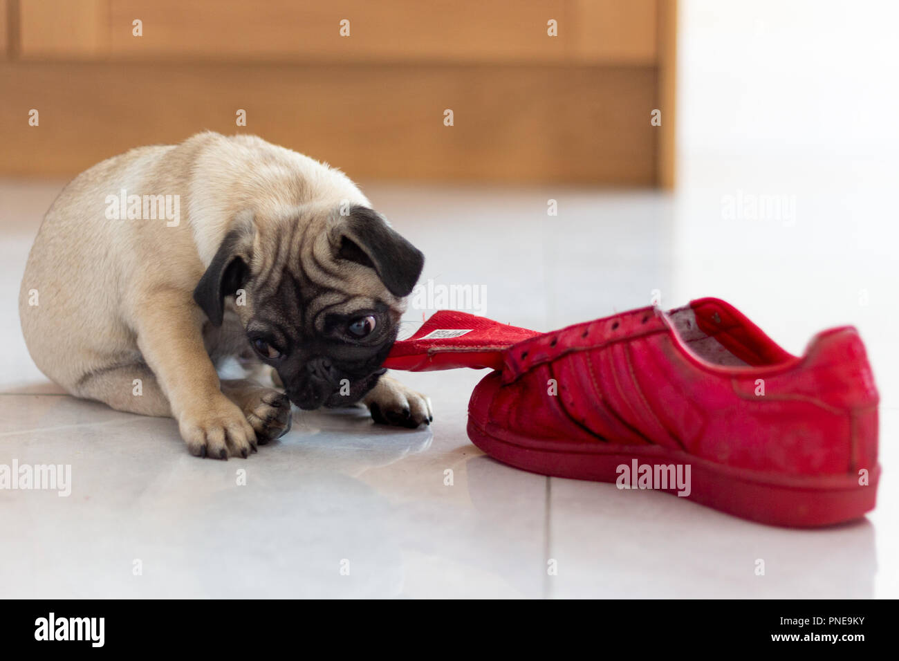 Cute Pug Puppy Playing with Red Shoe - Stock Image