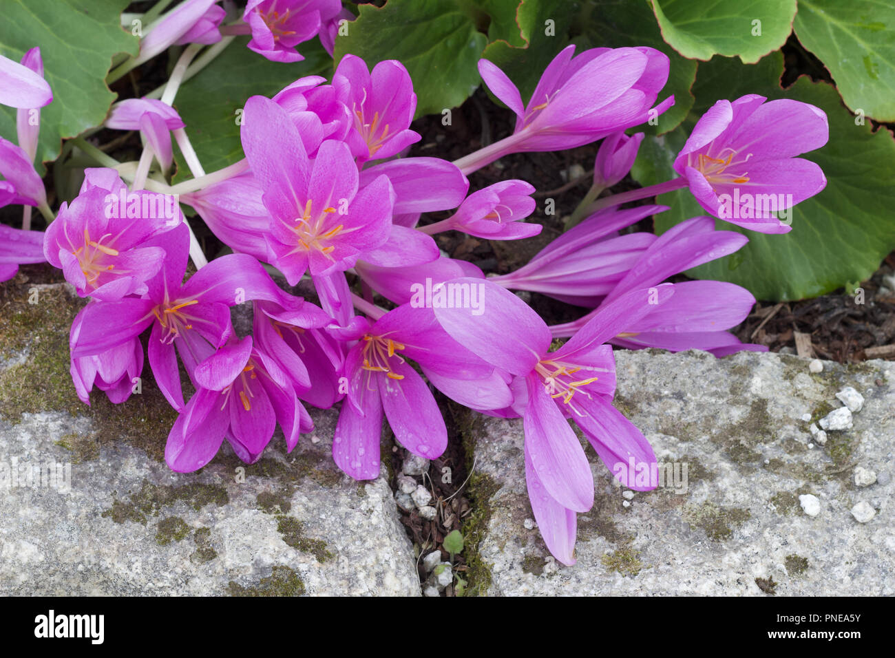Close Up Of Beautiful Pink Color Crocus Like Flowers Growing Low To