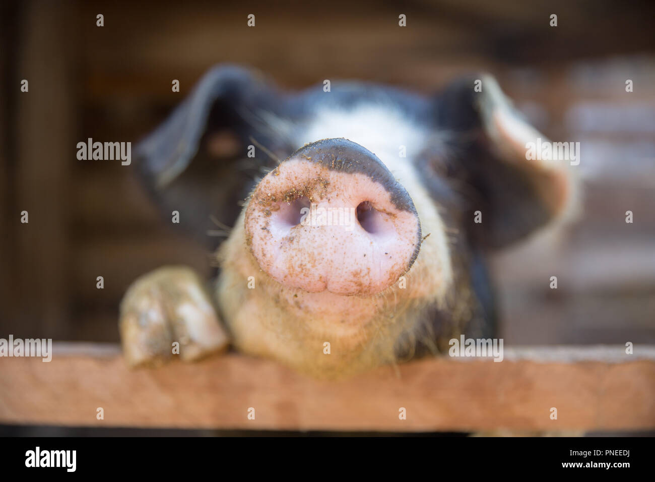 Pig nose in the pen. Focus is on nose. Shallow depth of field. - Stock Image