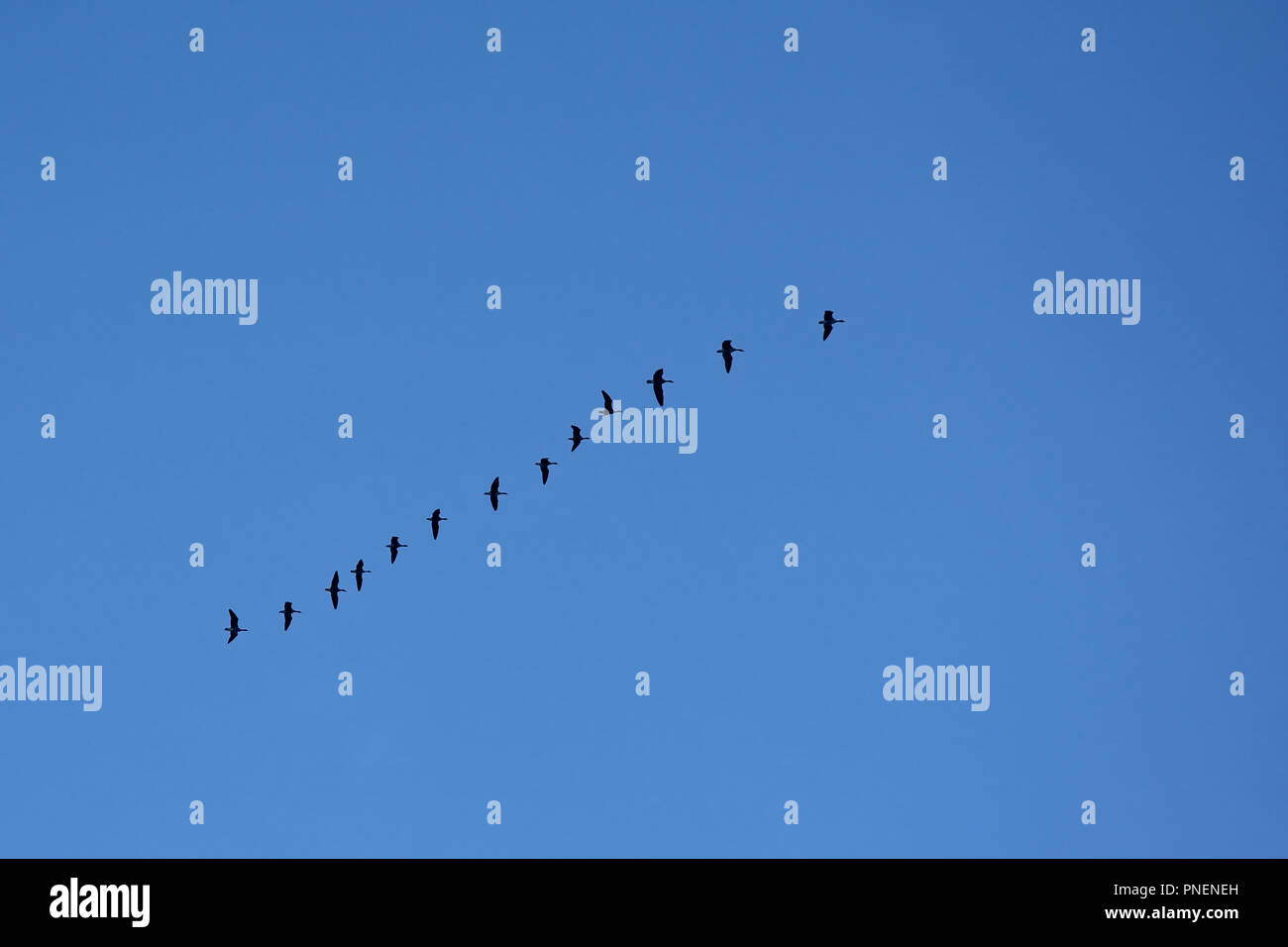 Group of geese in flight on a clear blue sky, view from below  -  anatidae - Stock Image