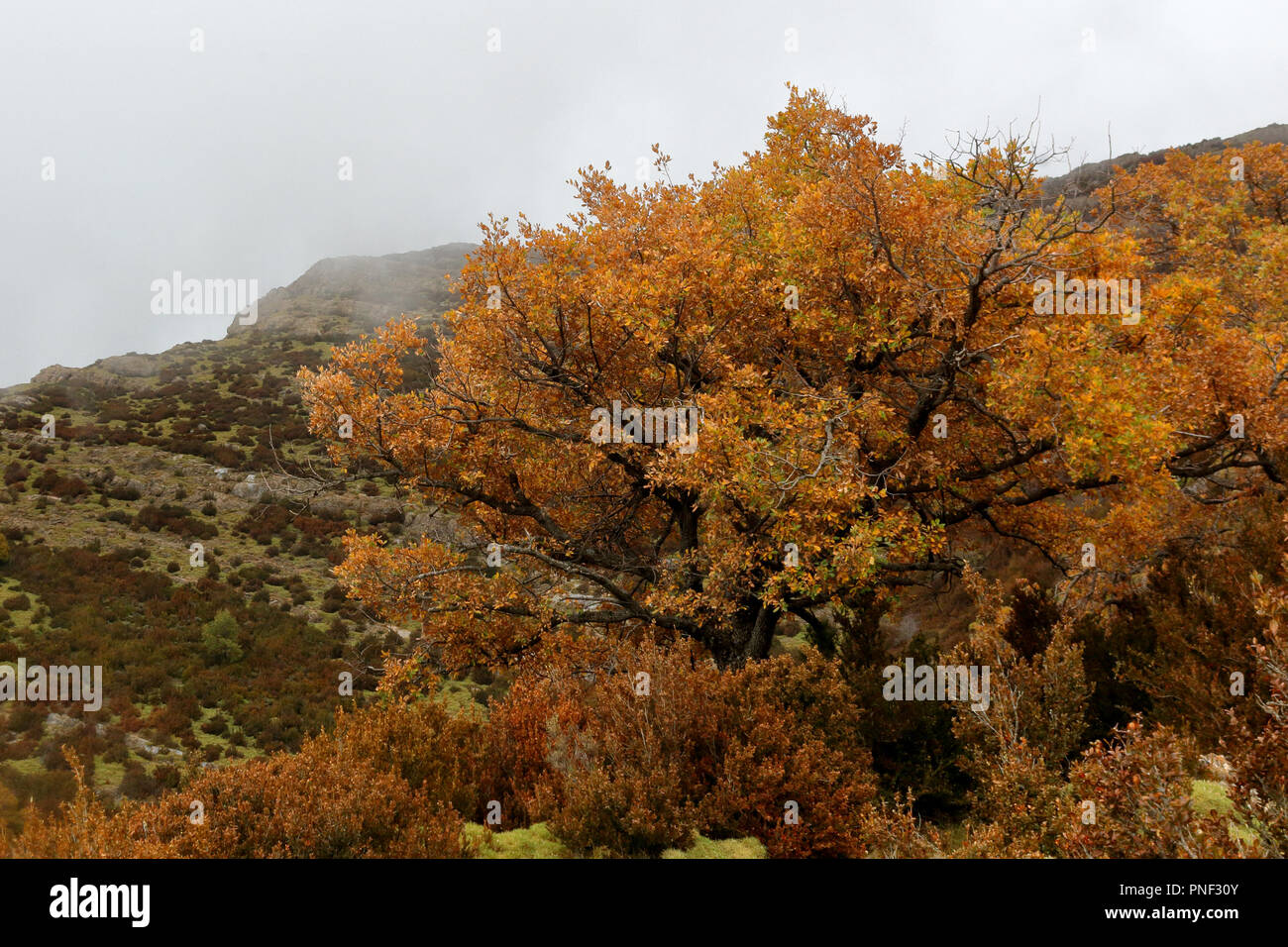 A big yellow tree in the foggy mountains and hills in autumn while while hiking from Yebra de Basa town to Santa Orosia church on the Pyrenees, Spain Stock Photo