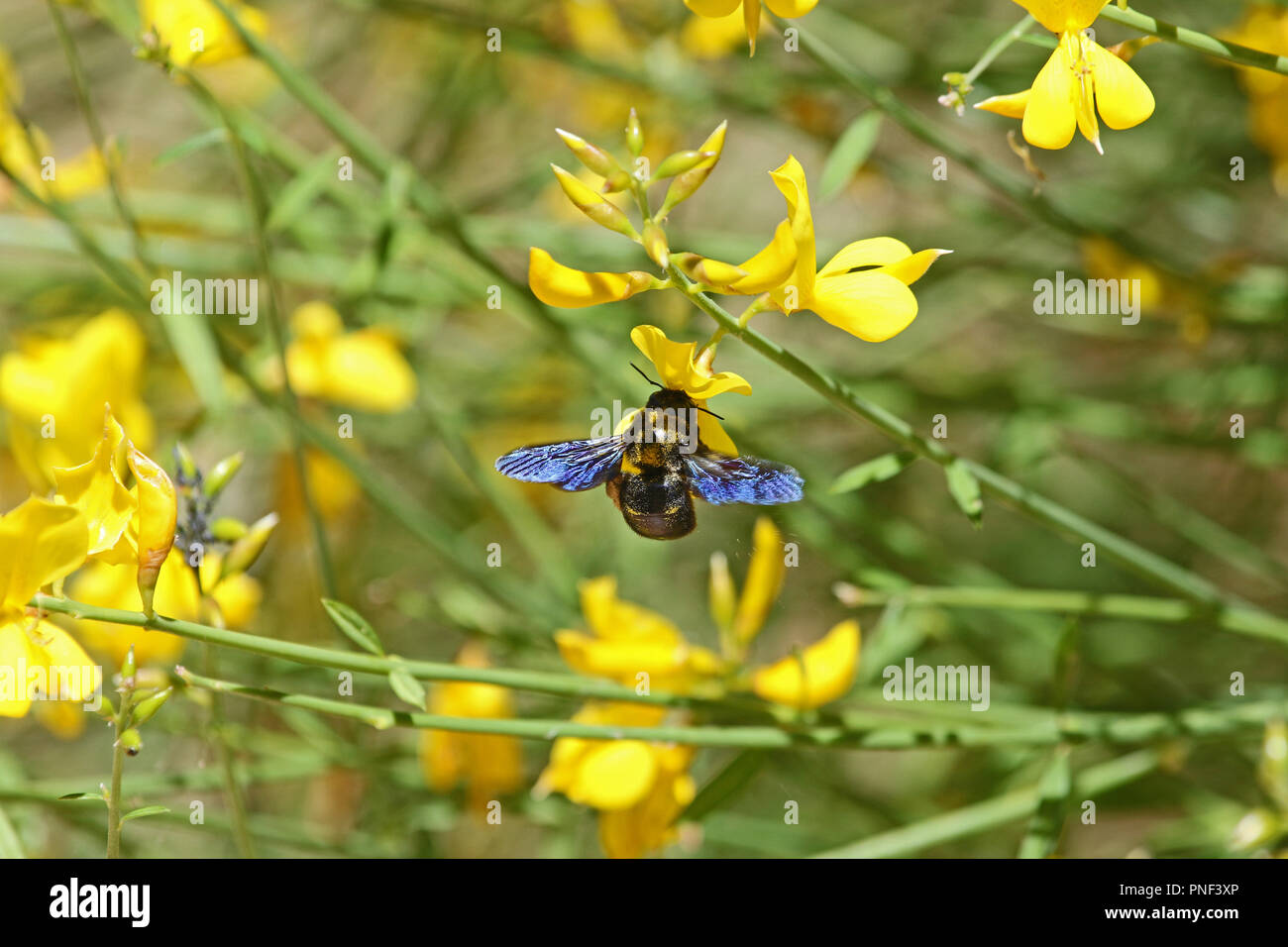 Carpenter bee latin name xylocopa violacea on yellow broom or carpenter bee latin name xylocopa violacea on yellow broom or ginsestra flower latin name cytisus scoparius or spachianus in spring in italy mightylinksfo