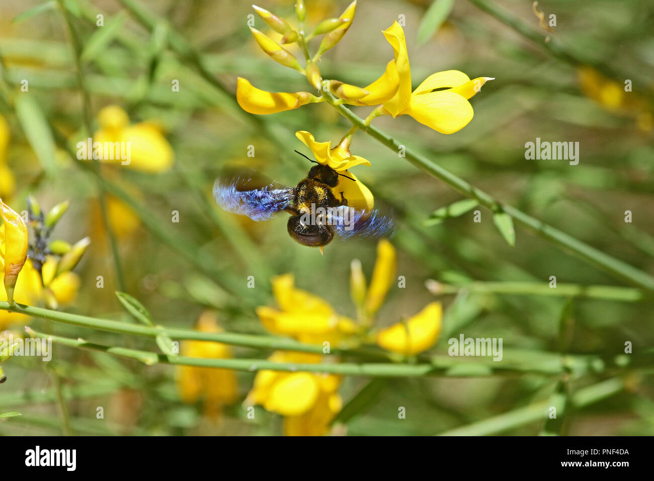 Carpenter Bee Latin Name Xylocopa Violacea On Yellow Broom Or