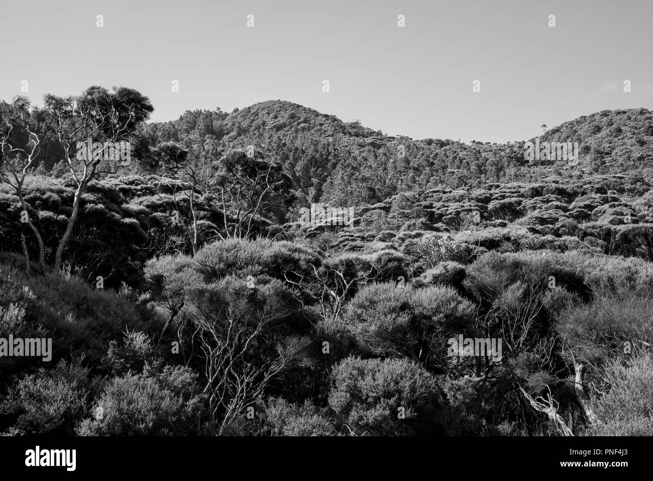 Auckland region new zealand landscape of native forest stock image