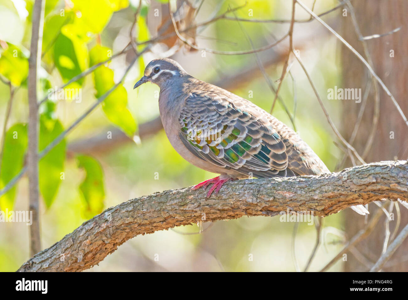 The Common Bronzewing (Phaps chalcoptera) is a species of medium-sized, heavily built pigeon native to Australia. - Stock Image