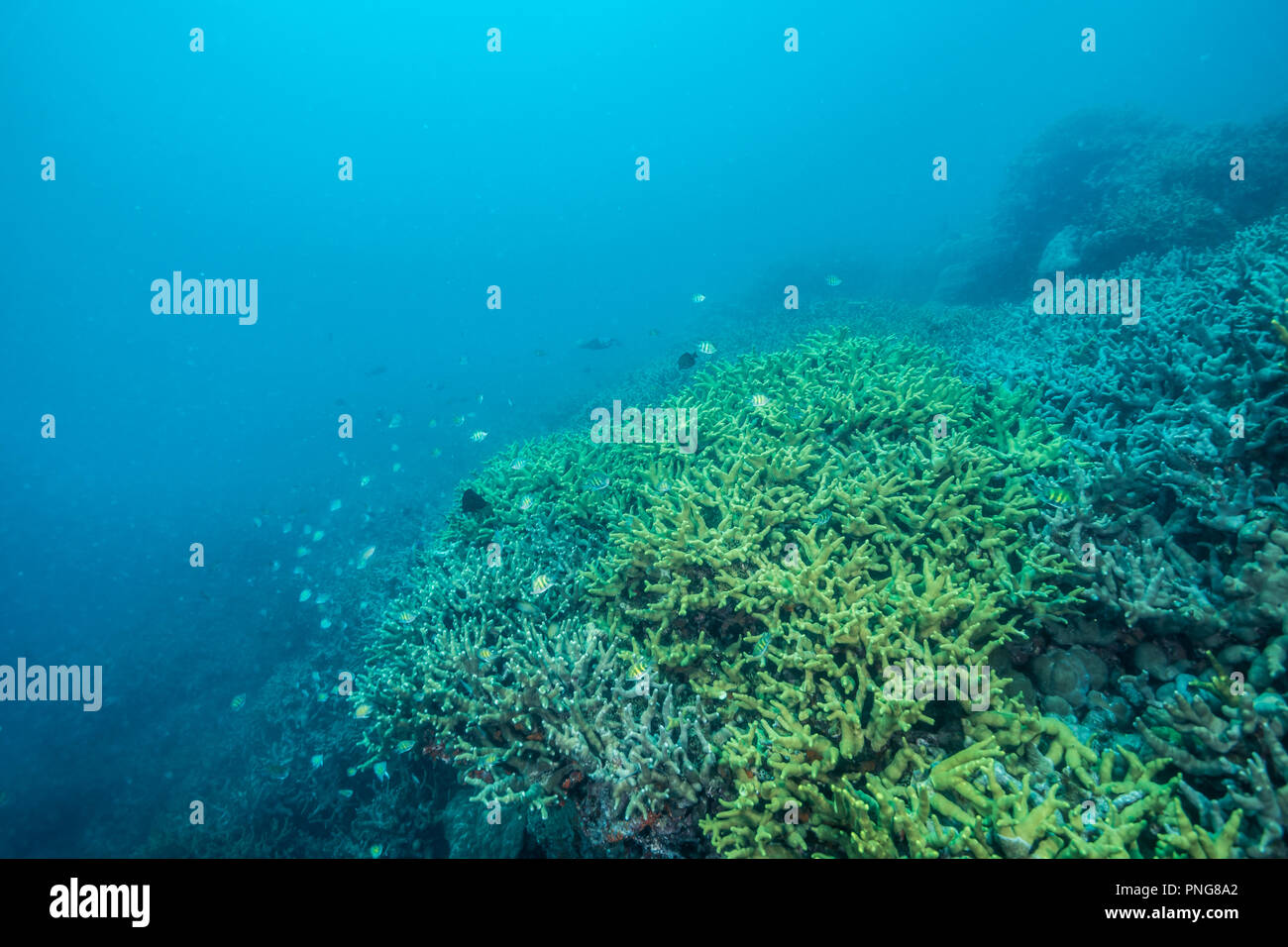 Colonies of corals spreading on the shallow bottom of the ocean. Yap Island Federated States of Micronesia - Stock Image