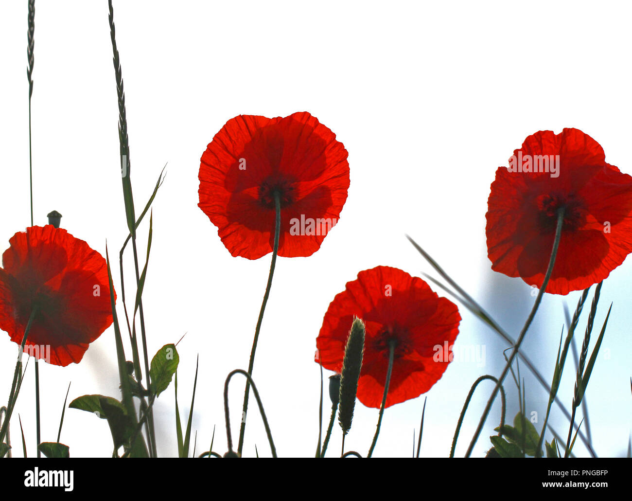 Poppy flowers or papaver rhoeas with light behind in Italy remembering 1918 the Flanders Fields poem and 1944 The Red Poppies on Monte Cassino song - Stock Image