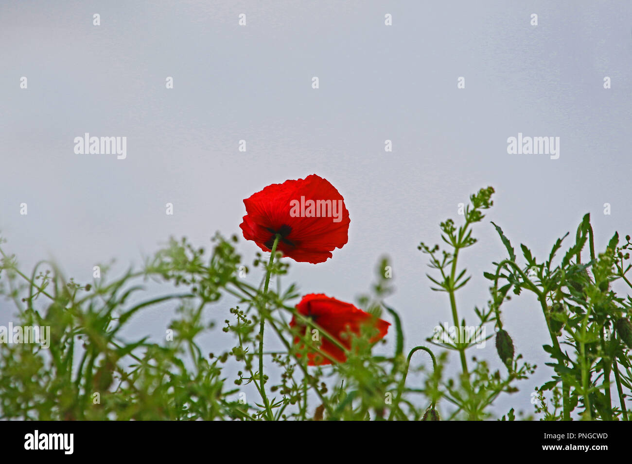 Poppy fields flanders stock photos poppy fields flanders stock poppy flower or papaver rhoeas with light behind in italy remembering 1918 the flanders fields poem mightylinksfo