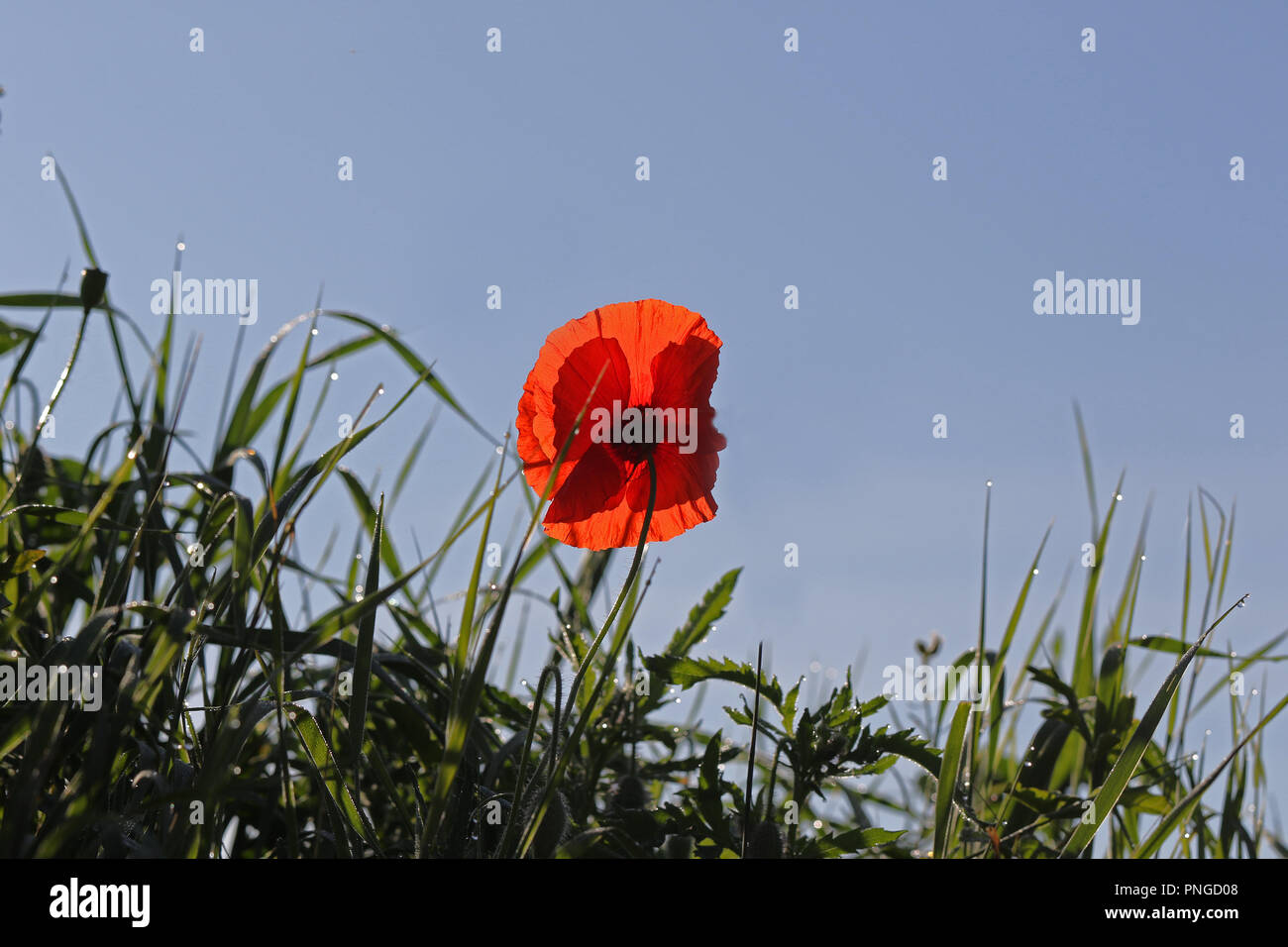 Poppy flower or papaver rhoeas with light behind in Italy remembering 1918 the Flanders Fields poem and 1944 The Red Poppies on Monte Cassino song - Stock Image