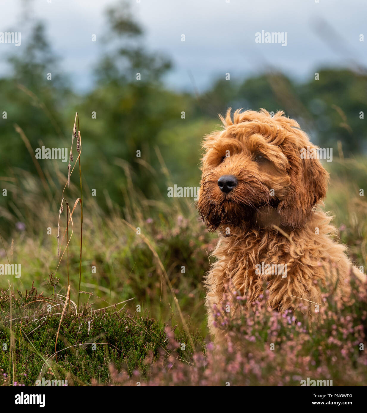 A young red Cockapoo puppy enjoying being amongst the heather in a local moorland area - Stock Image