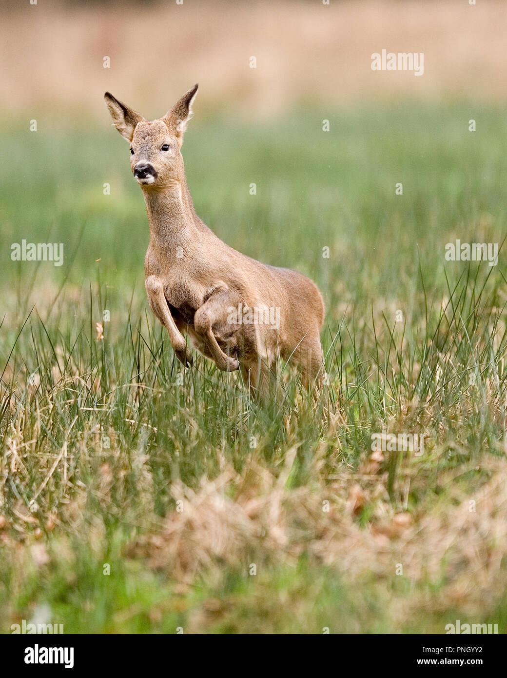 roe deer Capreolus capreolus - Stock Image