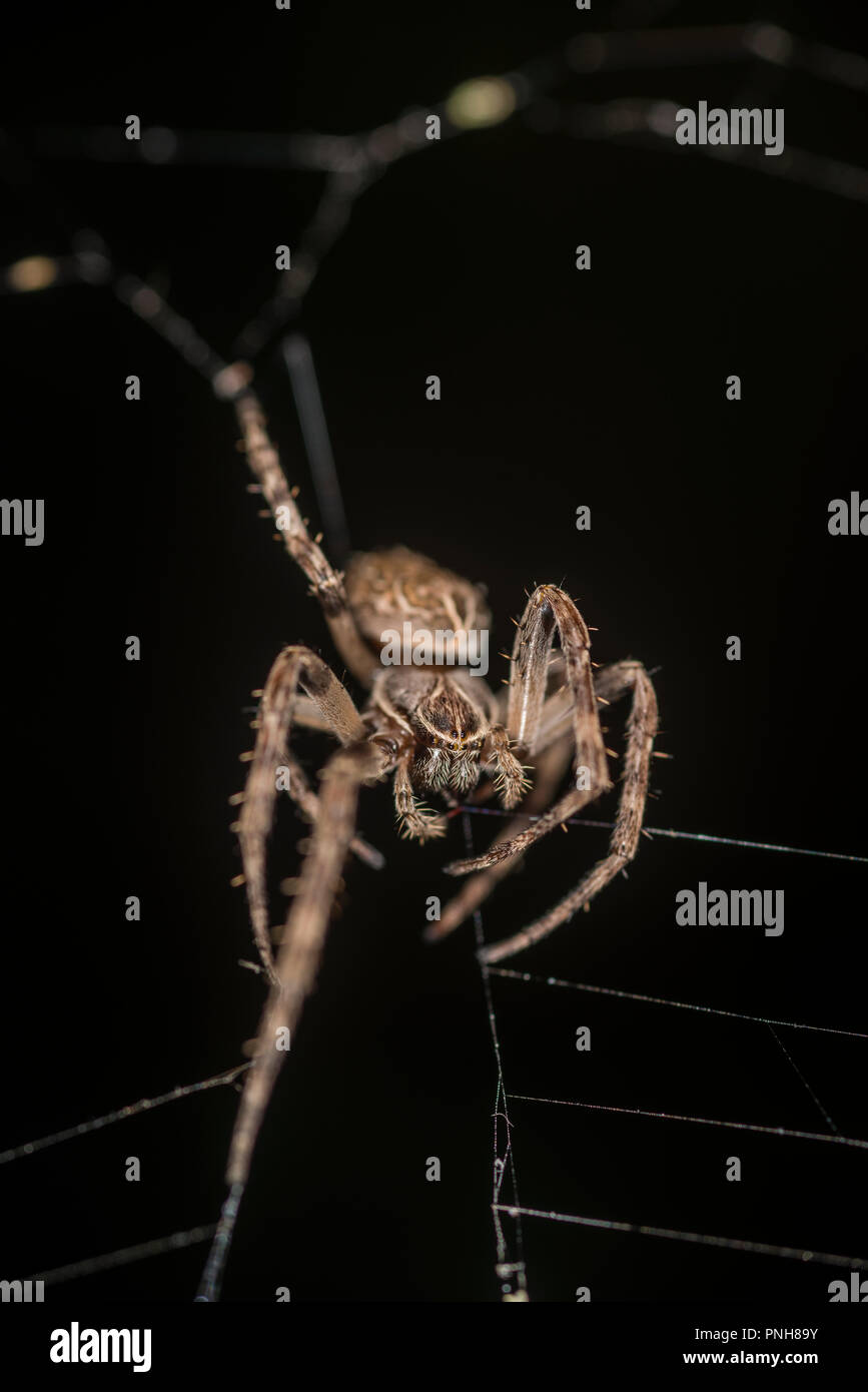 Bridge orb weaver in its web - Stock Image