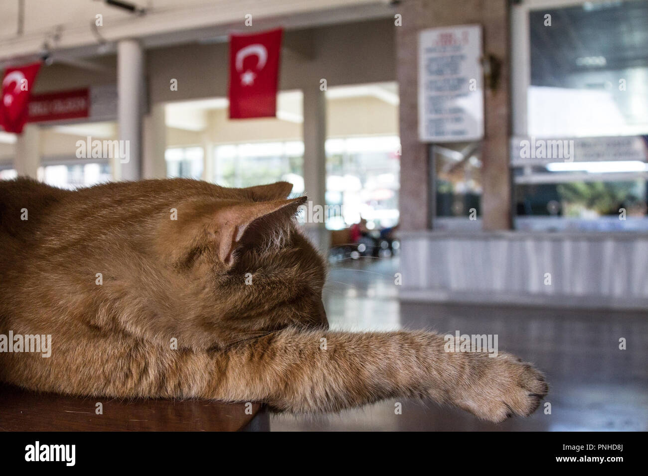 Stray ginger cat sleeping in the waiting room of Sirkeci train station in Istanbul while a Turkish flag can be seen in the background. Cats are one of - Stock Image