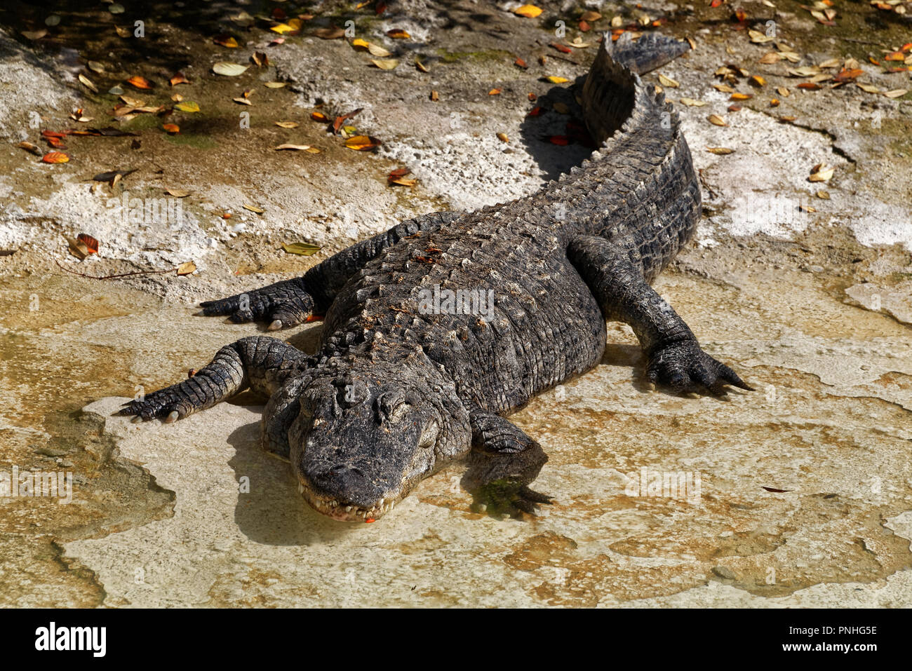 The American alligator (Alligator mississippiensis), sometimes referred to colloquially as a gator or common alligator, is a large crocodilian reptile - Stock Image